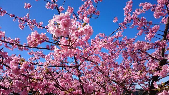 20160216山田屋の桜2