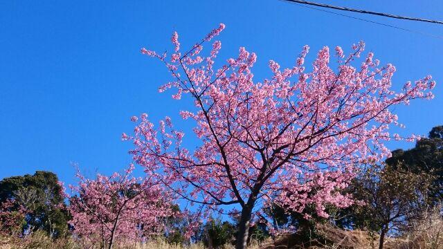 20160216山田屋の桜5