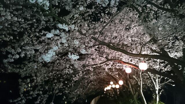 本郷公園夜桜③
