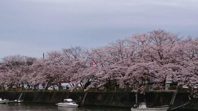 H280404稲生沢川桜